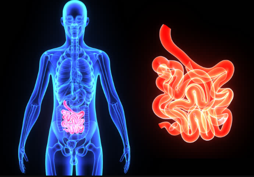 The Functions of the Small Intestines